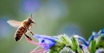 Les abeilles plus sensibles aux pesticides quand la météo est mauvaise