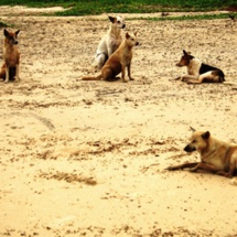 Les chiens errants menacent les habitants de Dakhla