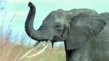 L'éléphant a le nez le plus performant du règne animal