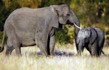 L'Afrique du Sud entend défendre ses éléphants contre les braconniers