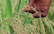 """Le génome du """"riz africain"""" séquencé"""