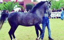 Une vente aux enchères publiques  de chevaux au Festival de Bouznika