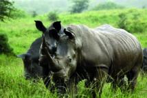 L'Afrique du Sud va évacuer des centaines de rhinocéros du parc Kruger