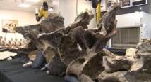 Le fossile du plus énorme dinosaure  de l'histoire découvert en Argentine