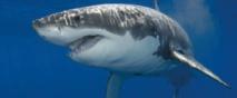 Des requins fans de hard-rock