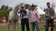 """Championnat national """"Modèle  et Allures"""" des chevaux pur-sang arabe"""
