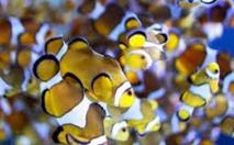 Les poissons-clowns nouveau-nés voyagent sur de vastes distances