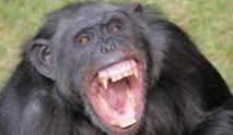 Les chimpanzés n'ont pas besoin  de l'homme pour se faire la guerre
