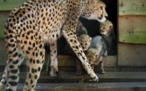 Les activités humaines responsables du fort déclin de la population des guépards
