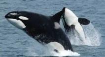 Quand les orques apprennent à  parler le dauphin