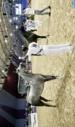 Le cheval barbe à l'honneur  au Festival d'El Jadida