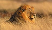 Les Etats-Unis veulent protéger le lion africain