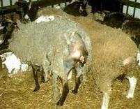 La tremblante du mouton pourrait être transmissible à l'humain