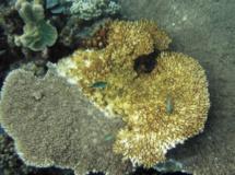 Grave épisode de blanchissement du corail dans le Pacifique nord