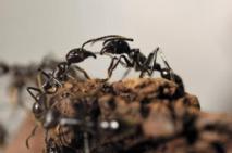 Des fourmis orientées à gauche