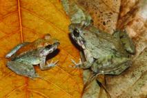 Découverte d'une première grenouille à avoir accouché de têtards