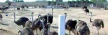 Une horde de chiens errants envahit  la ferme d'élevage d'autruches de Taourta