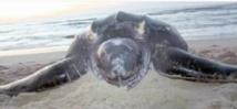 Une tortue géante échoue  sur une plage à Dakhla
