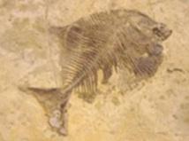 Dans l'évolution, la taille des animaux tend à grandir