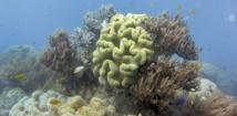 Les coraux de la Grande Barrière d'Australie  ingèrent du plastique