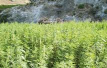 Le Maroc premier producteur de résine de cannabis en Afrique