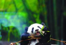 La population de  pandas géants de Chine en augmentation