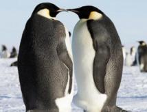 A l'ère glaciaire, les manchots d'Antarctique ont souffert du froid