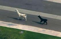 Insolite : Deux lamas se font la belle