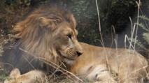Le lion abyssinien d'Ethiopie menacé par la destruction de son habitat