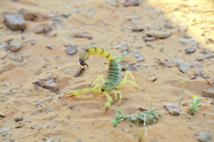 Les piqûres de scorpions, principale  cause des intoxications au Maroc