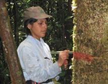 Surmortalité des arbres en Amazonie