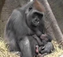 Au Gabon, quand les gorilles cohabitent avec l'Homme