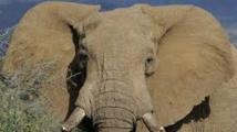 L'éléphant d'Afrique menacé à court terme par le trafic d'ivoire