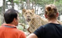 Les nouveaux lions, symbole de l'après-crise au zoo d'Abidjan