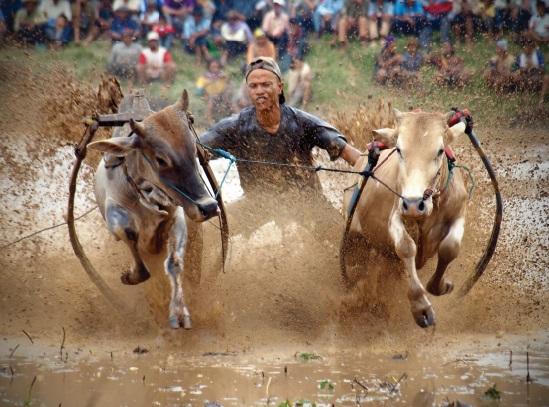 Les festivals à voir une fois dans sa vie : Pacu Jawi (Indonésie)
