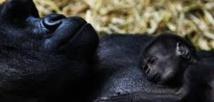 La consanguinité a contribué à la survie des gorilles des montagnes