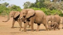 Les éléphants du Botswana, ressource pour les uns, nuisance pour les autres