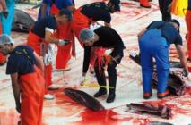 Le thon rouge des madragues ancestrales d'Espagne, régal des gourmets japonais
