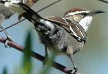 Des éléments clés du langage humain trouvés dans le babillage des oiseaux