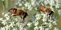 La disparition des abeilles pourrait causer plus d'un million de morts par an dans le monde