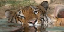Le tigre se meurt dans la plus vaste mangrove de la planète