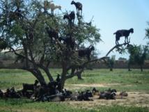 Reportage : L'arganier, or vert et source de vie