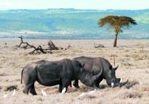 Un «tueur» pour protéger les rhinocéros du parc Kruger en Afrique du Sud
