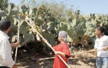 Le figuier de barbarie, source de revenus pour une bonne partie de la population rurale d'Ait Baâmrane