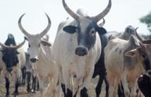 Des experts marocains au chevet de l'élevage intensif au Mali