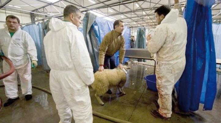 Débat en Belgique autour du rituel du sacrifice de l'Aid Al Adha