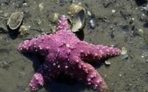 L'étoile de mer américaine, victime du changement climatique