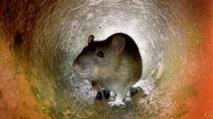 Insolite : Plaintes contre les rats à New York