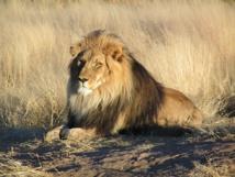 La moitié des lions d'Afrique pourrait  disparaître d'ici 20 ans