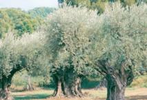 Ouazzane capitale de l'olivier du 26 au 29 novembre